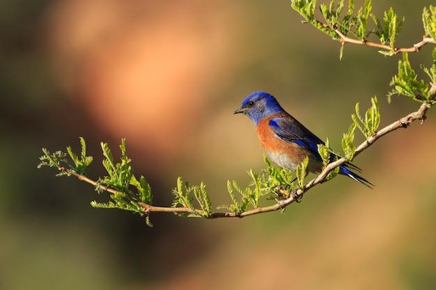 Western bluebird in een park in utah