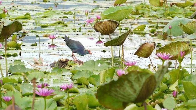 Western swamphen aan meer, waterlelies, roze lotussen. vogel in het wild. exotische tropische vijver.