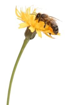 Westerse honingbij of europese honingbij, apis-mellifera, die stuifmeel voor witte achtergrond draagt