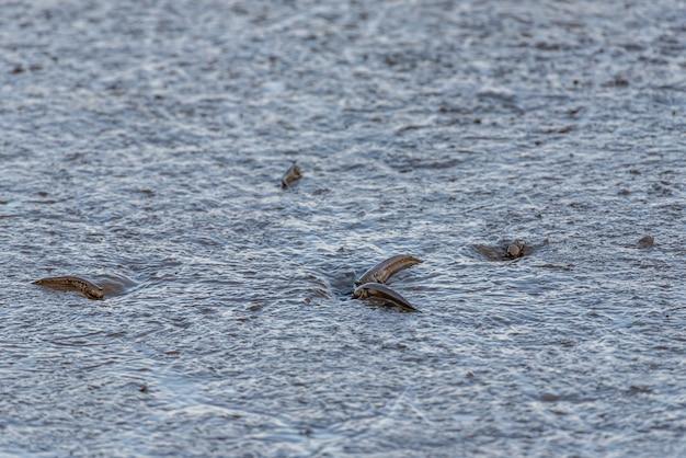 Wezens op het strand, springende vis-modderschipper