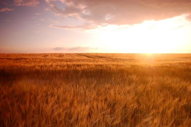 Wheatfield bij zonsondergang