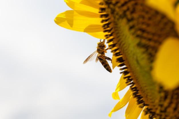 Whit van zonnebloemen bij