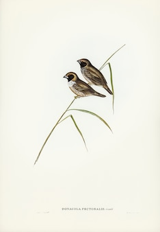 White-breasted finch (donacola-borstspier) geïllustreerd door elizabeth gould