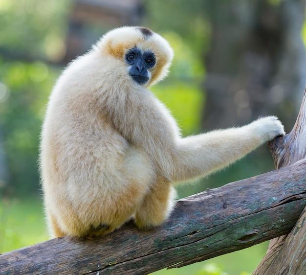 White cheeked gibbon of lar gibbon