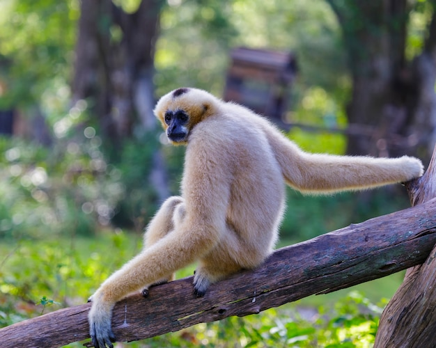 White cheeked gibbon of lar gibbon