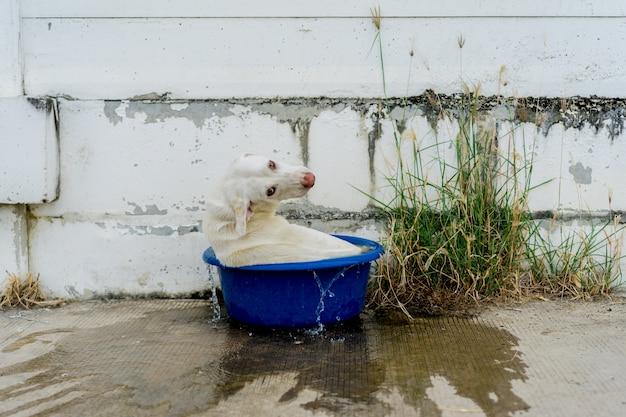 White dog spelen in het geëmailleerde bekken bij warm weer