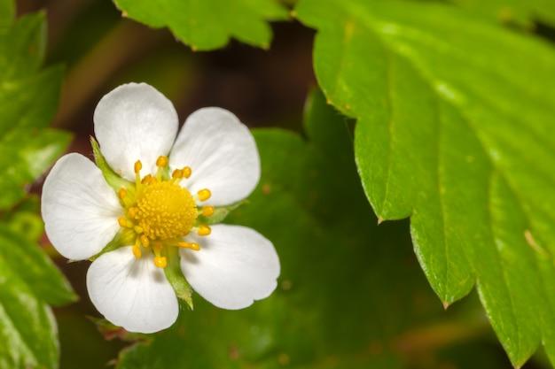 White garden aardbeibloem - witte bloemblaadjesbloemen en groene bladeren