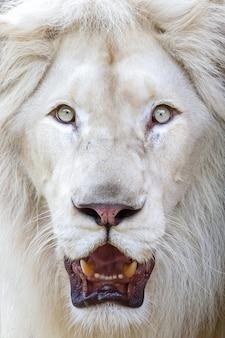 White lion-gezichten die woest staren.