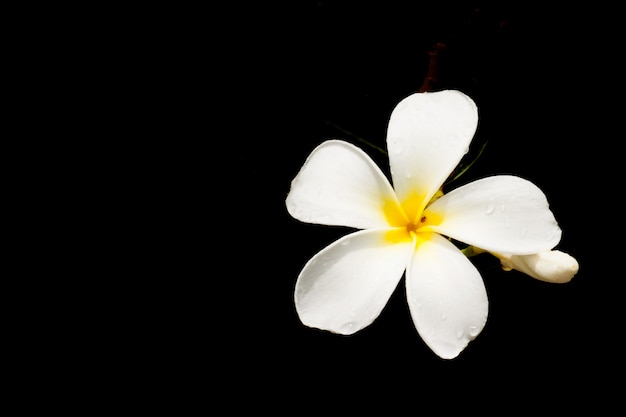 White plumeria spp. (frangipanibloemen, frangipani, pagodeboom of tempelboom) isoleren op zwarte.