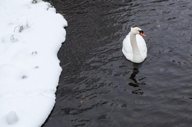 White swan close-up op het water in de buurt van de besneeuwde oever van het meer op koude winterdag