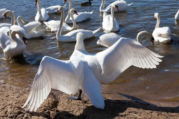 White swan drijvend op het meer prachtige watervogels zwanen