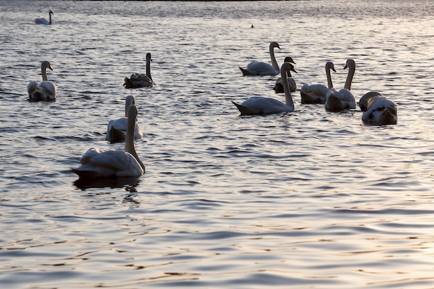 White swan-groep, oranje kleur