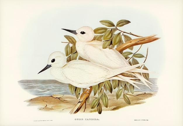White tern (gygis candida) geïllustreerd door elizabeth gould
