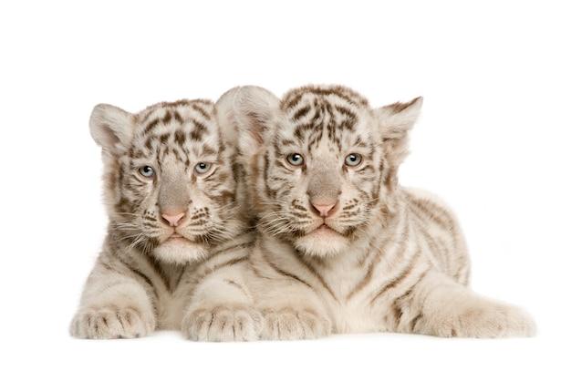 White tiger cub (2 maanden) geïsoleerd