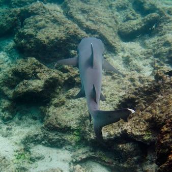 Whitetip rifhaai (triaenodon obesus) onderwater zwemmen, puerto egas, santiago, galapagoseilanden, ecuador