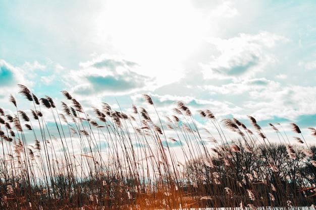 Wide shot van phragmites in een wind met bewolkte hemel