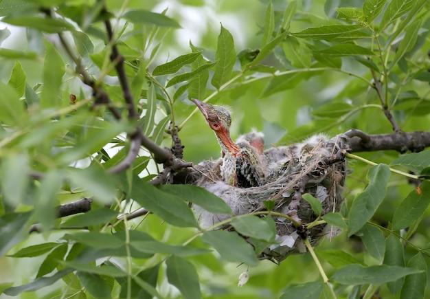 Wielewaalkuikens in het nest. ontsproten dichtbij close-up. coole en schattige toekomstige golden orioles