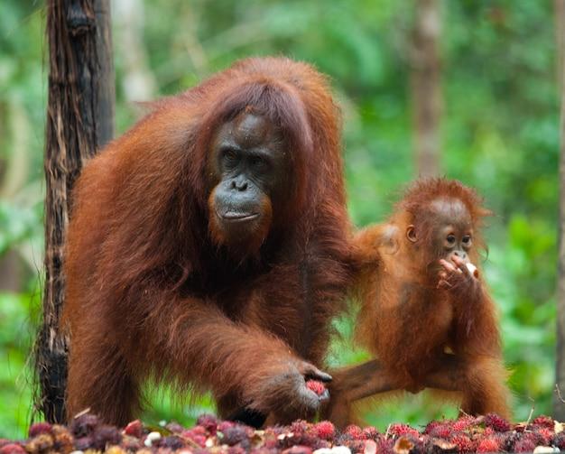 Wijfje en babyorang-oetan eten fruit. indonesië. het eiland kalimantan (borneo).