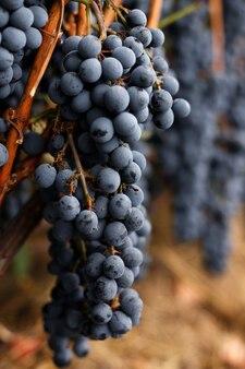 Wijn blauwe druiven close-up. oogst in de herfst. wijn maken