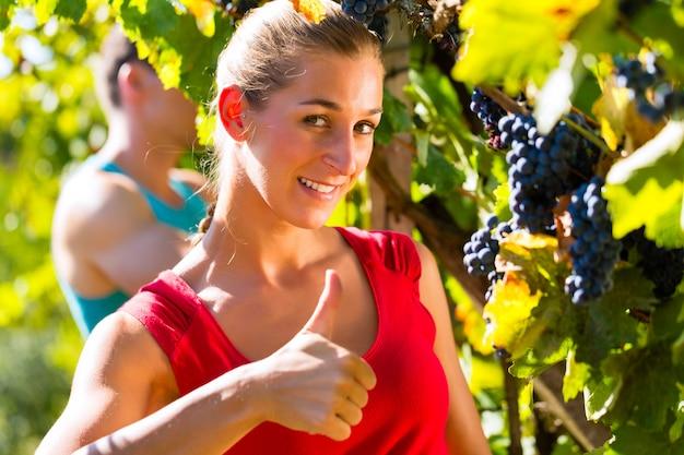 Wijnboer druiven plukken in de oogsttijd