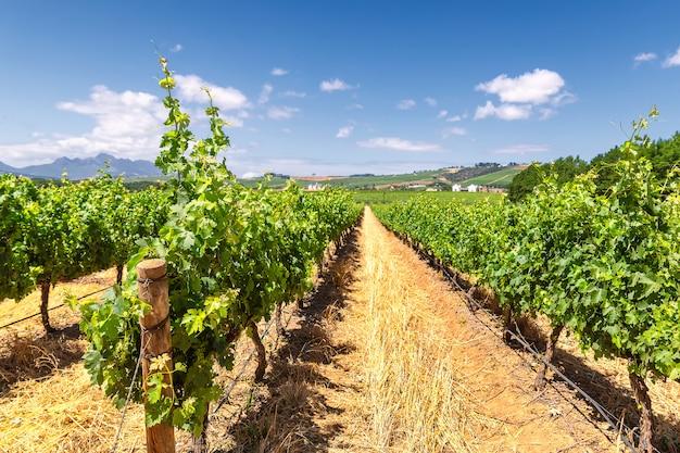 Wijngaard en de bergen in franschhoek-stad in zuid-afrika