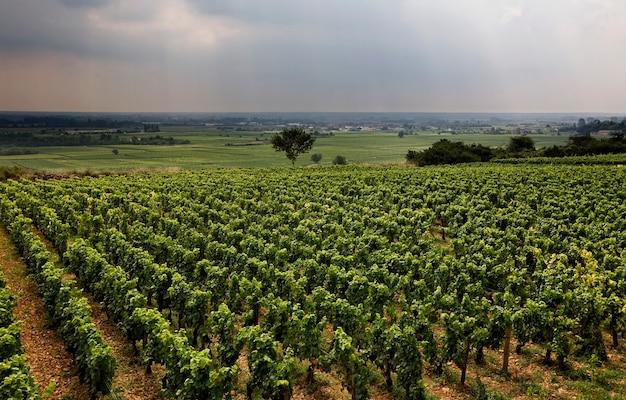 Wijngaard in bourgondië