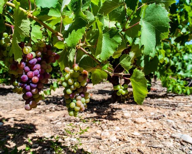 Wijngaard in de provincie languedoc-roussillon in frankrijk