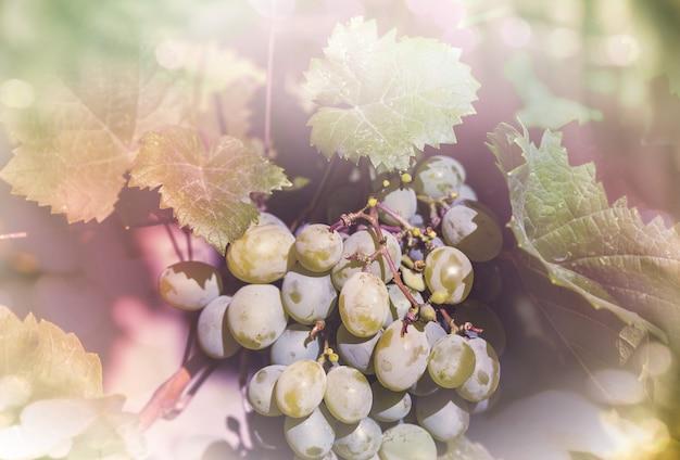 Wijngaard in het herfstseizoen