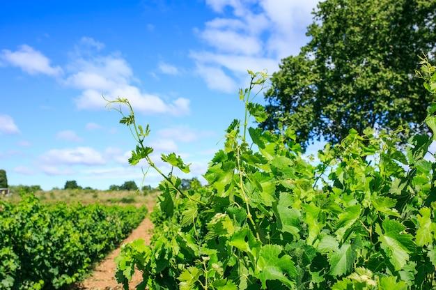 Wijngaard in het zuiden van frankrijk
