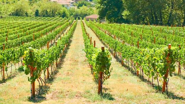 Wijngaard in thessalië op zonnige zomerdag, griekenland - griekse landelijke landscpe