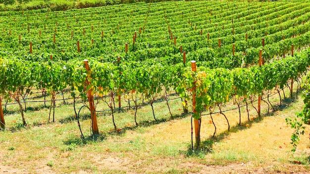 Wijngaard in wijnbouwgebied