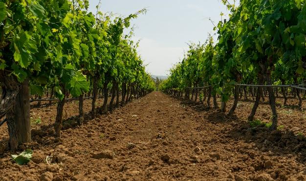 Wijngaard klaar om wijn te produceren