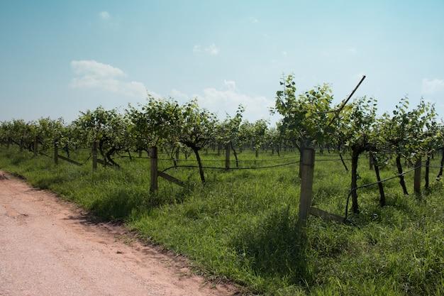 Wijngaard landschap in thailand