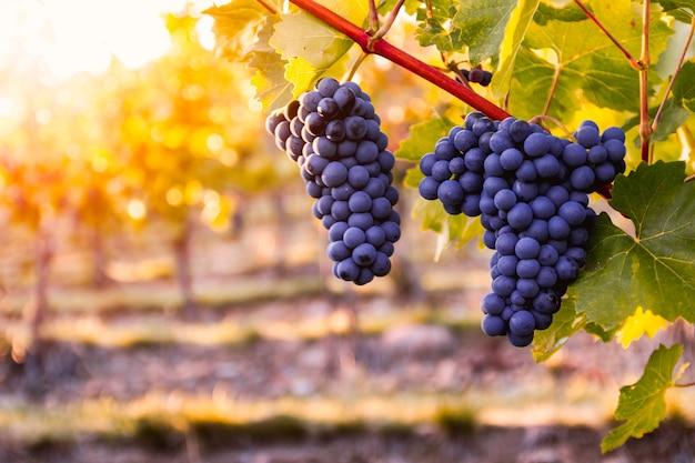 Wijngaard met rijpe druiven in het platteland bij zonsondergang