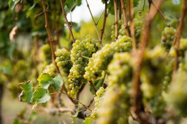 Wijngaard met rijpe druiven