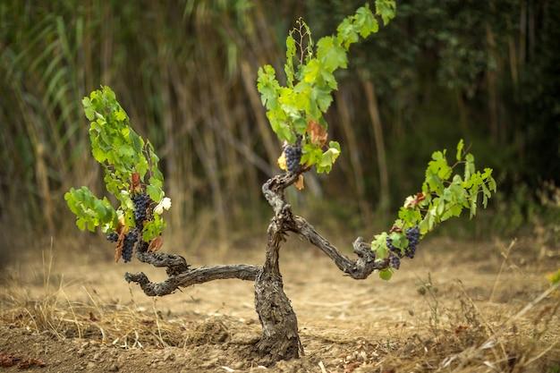 Wijngaard omgeven door droog gras in het zonlicht met een onscherpe achtergrond
