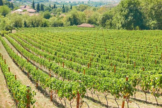 Wijngaard op het platteland op zonnige zomerdag
