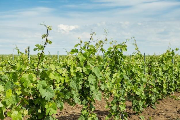 Wijngaard plantage rijen