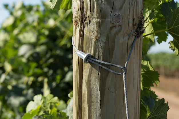 Wijngaardaanplanting in de zomer. groen groeiende wijnstok gevormd door struiken.