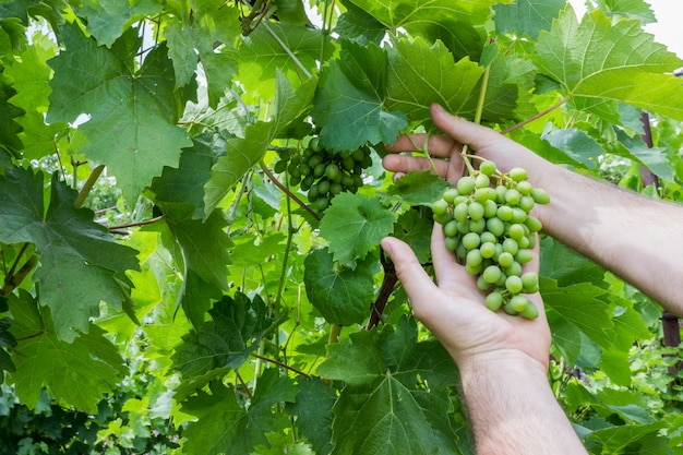 Wijngaardarbeider die druivenkwaliteit in wijngaard controleert. wijnmaker controleert de oogst van druiven.