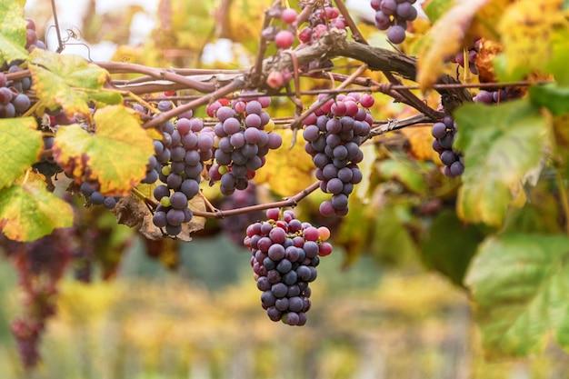 Wijngaarden bij zonsondergang in de herfst oogst.