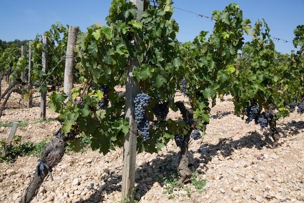 Wijngaarden bij zonsondergang in de herfstoogst. rijpe druiven in de herfst.