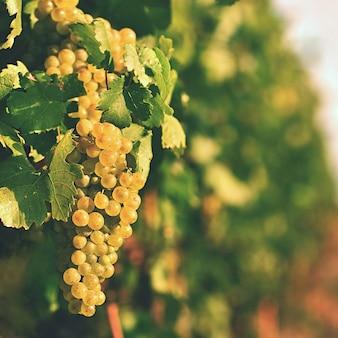 Wijngaarden bij zonsondergang in de herfstoogst. rijpe druiven. wijnstreek, zuid-moravië - tsjechische republiek. v