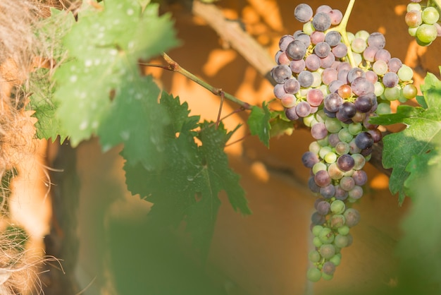 Wijngaarden bij zonsondergang rijpe druiven in de herfst