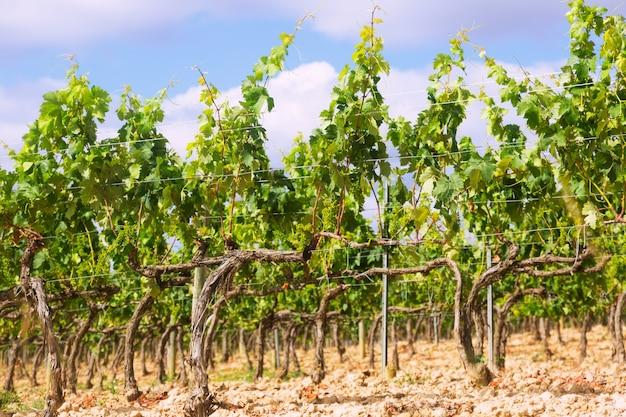 Wijngaarden in de buurt van haro