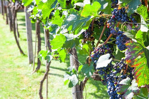 Wijngaarden op het veld. druiven met wijnstok en bladeren bij zonnig weer.