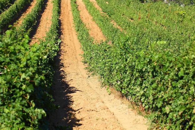Wijngaarden struiken rijen van rijpende druiven op een heldere dag.