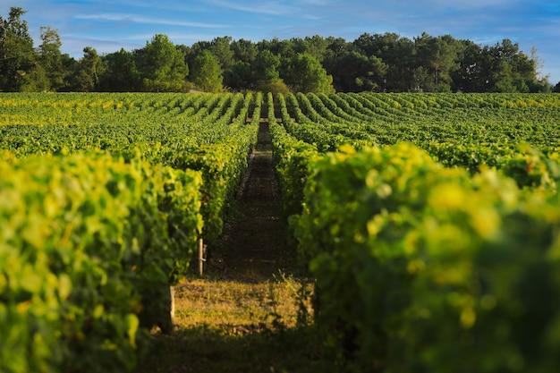 Wijngaardlandschap in de zomer, wijngebied in bordeaux, frankrijk