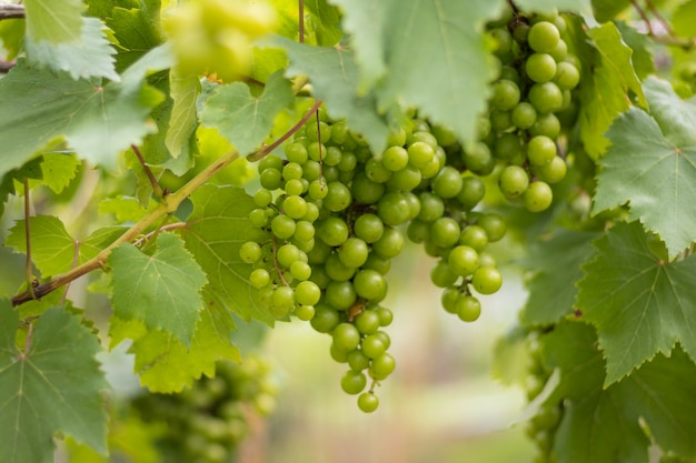 Wijnstok in een boerderij