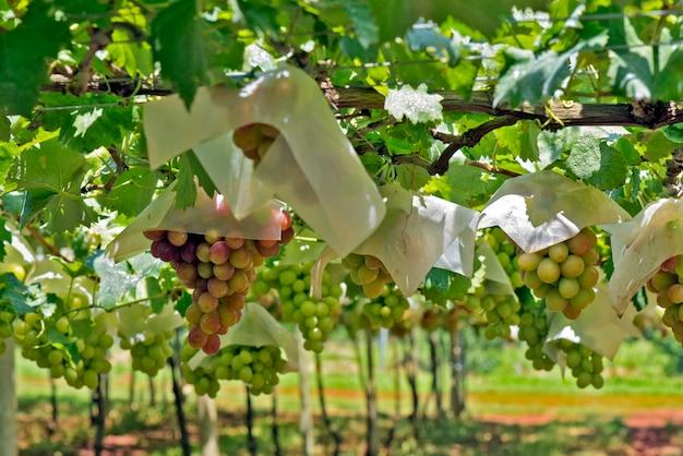 Wijnstok vol trossen tafeldruiven